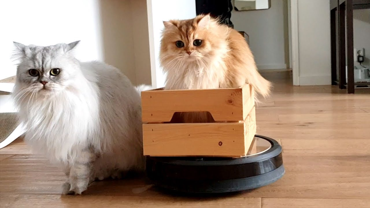 Smoothie and Milkshake having fun with a roomba vacuum cleaner