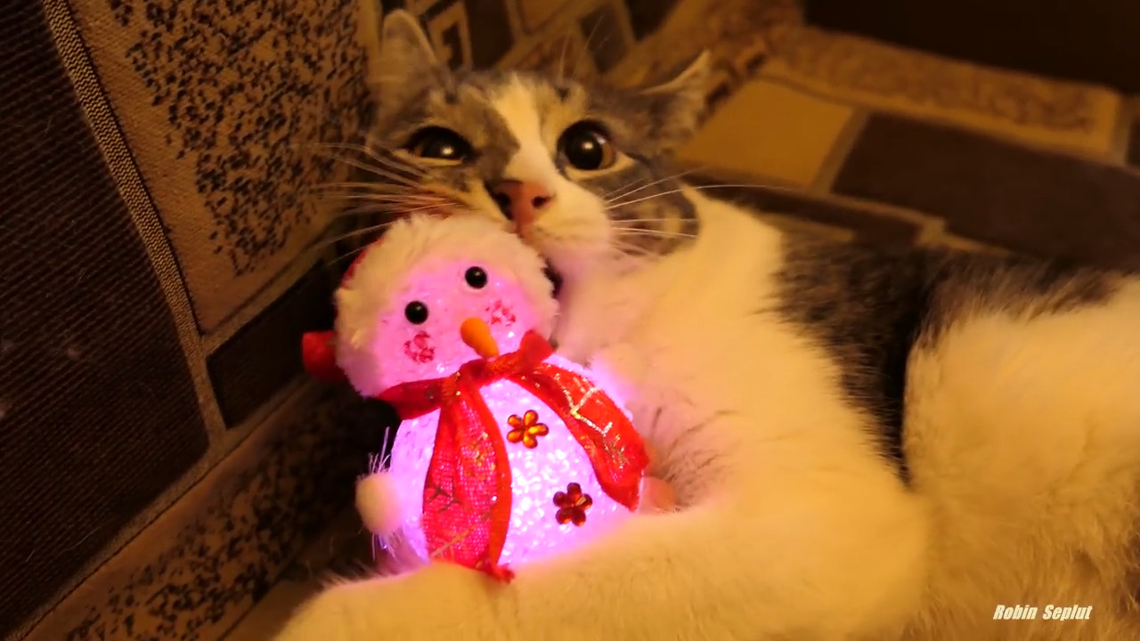Cute and playful cat has fun with different toys