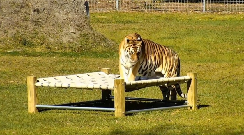 Kali The Tiger Gets A Bed