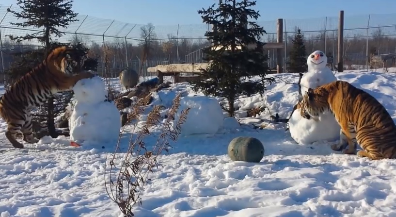 Tigers Playing With Snowmen