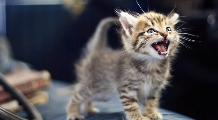 Little Kittens Meowing And Talking Compilation