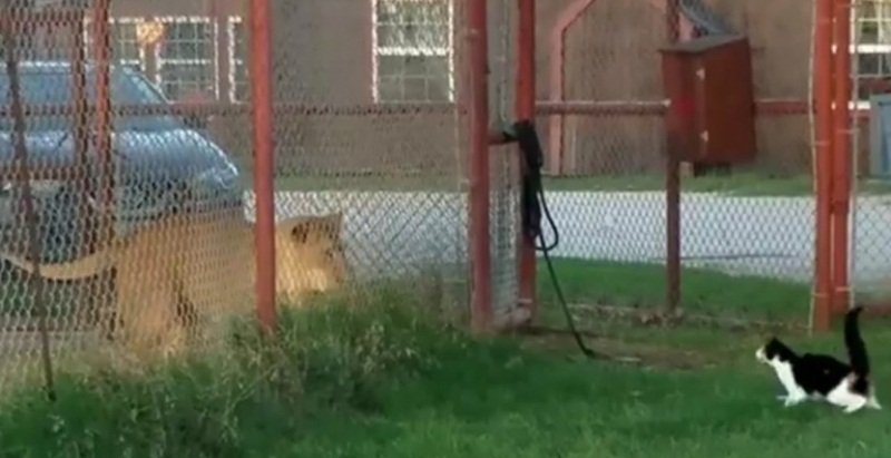 Brave Cat Challenges Lion