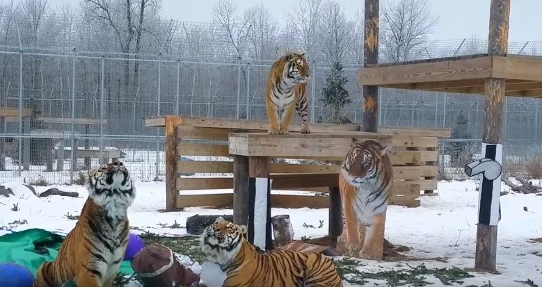 Beautiful Tigers Playing