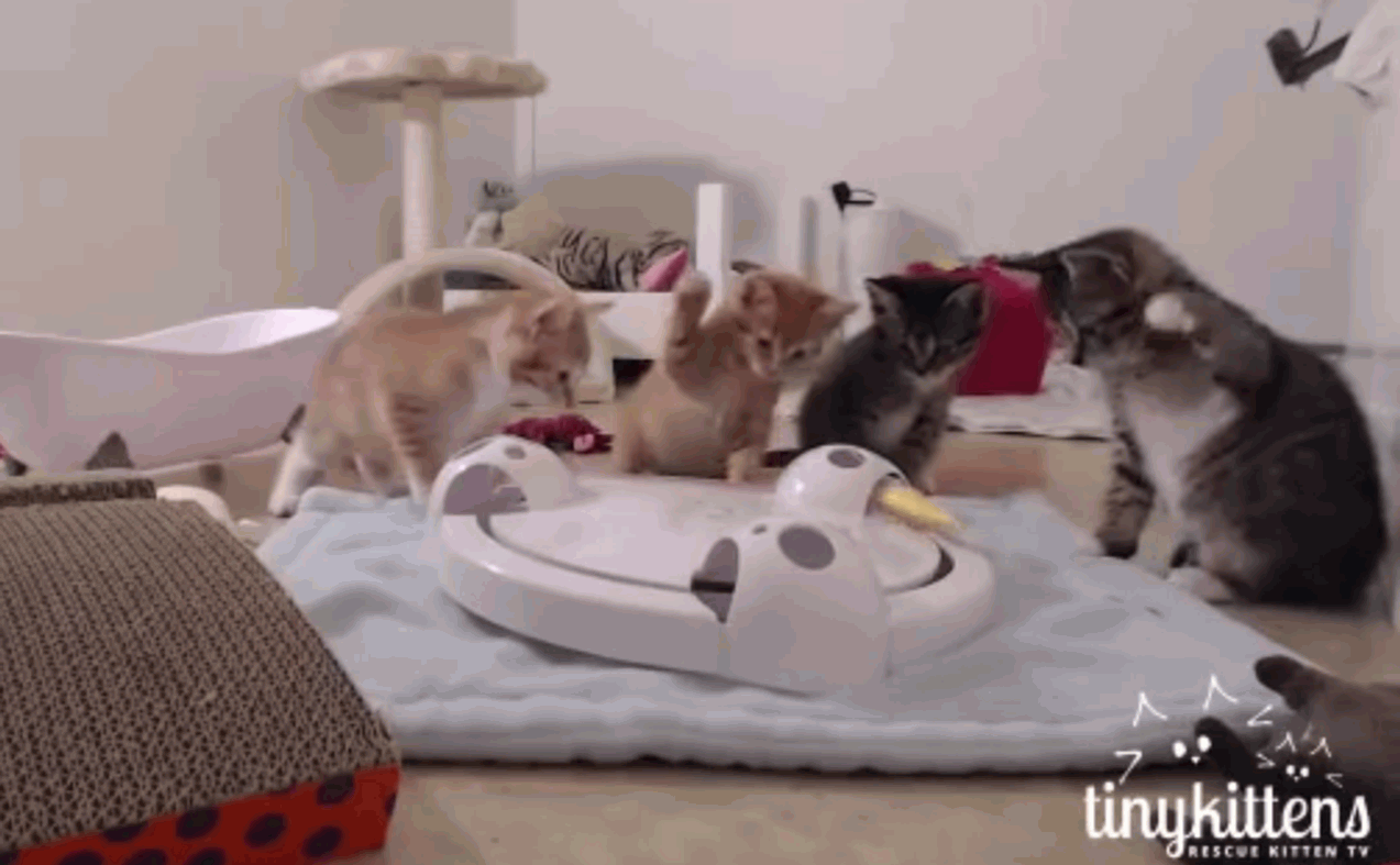 Curious kittens whap everything