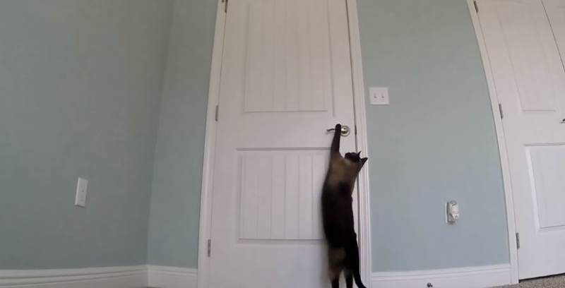 Smart Siamese Cat Opening Doors