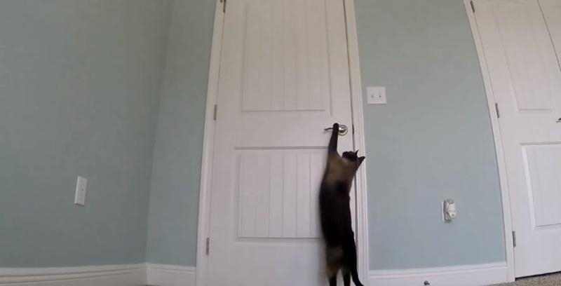 Smart Siamese Cat Opening Doors