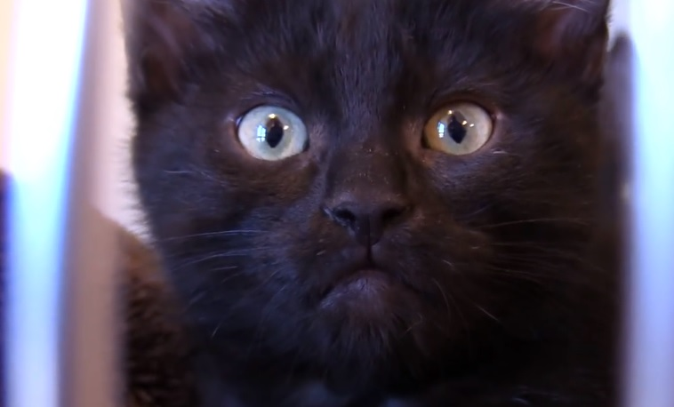 Adopt A Mini Black Panther