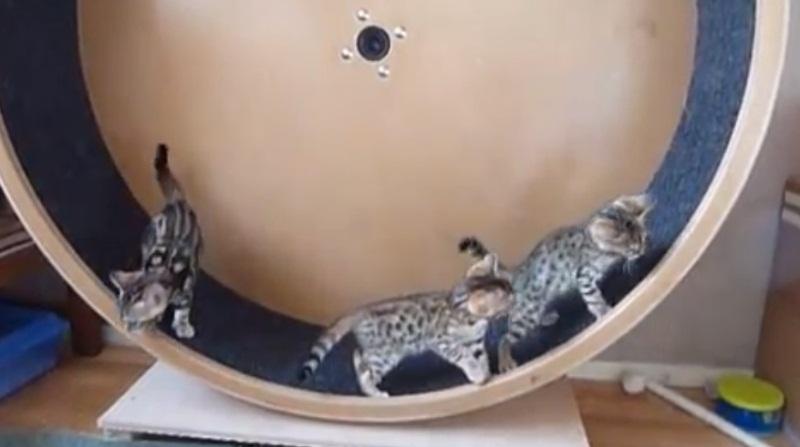 Bengal Kittens On Catwheel
