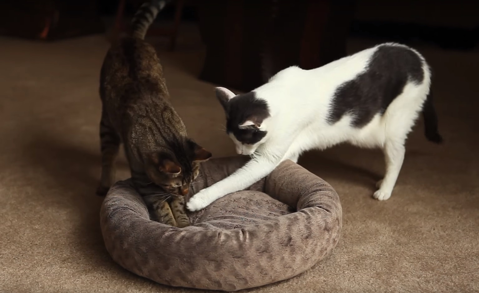 Funny and cute compilation of Loki and Sparta (The Mean Kitty)